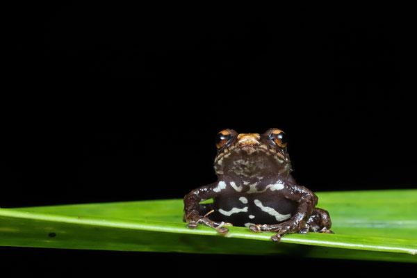 Spot-bellied Dink Frog (Diasporus ventrimaculatus)