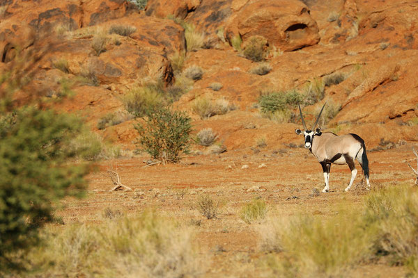 South African Oryx (Oryx gazella)