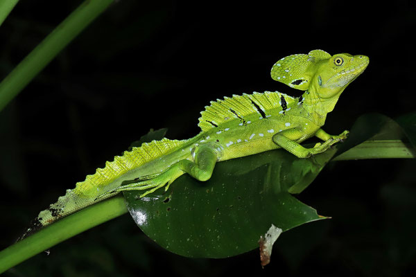 Green Basilisk (Basiliscus plumifrons)