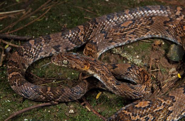 Central American Lyre Snake (Trimorphodon quadruplex)