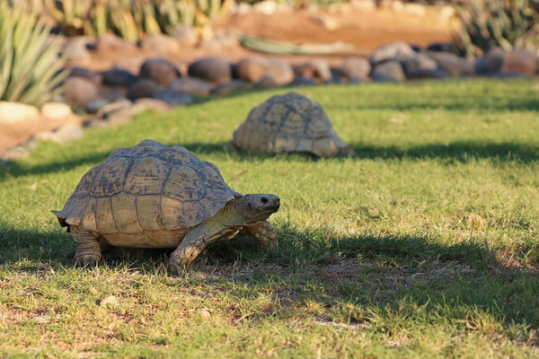 Leopard Tortoises (Stigmochelys pardalis) carefully choosing to graze in the shade.