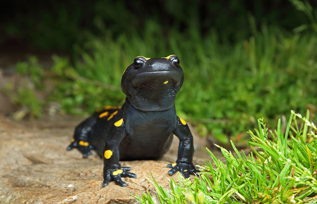 Oriental Fire Salamander (Salamandra infraimmaculata) showing its broad head.