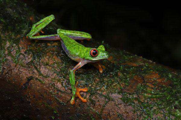 Blue-sided Gliding Leaf Frog (Agalychnis saltator)