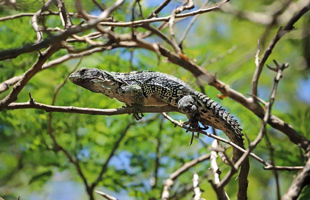 Oaxacan Spiny-tailed Iguana (Ctenosaura oaxacana)