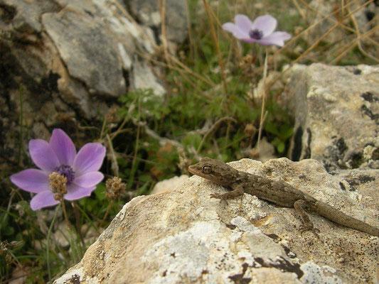 Kotschy's Gecko (Mediodactylus kotschyi), Karpathos, Greece, January 2012