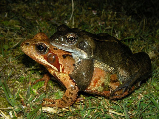 Grass Frogs (Rana temporaria) in amplexus