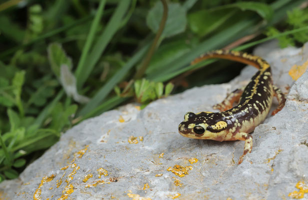 Karpathos Salamander (Lyciasalamandra helverseni) juvenile