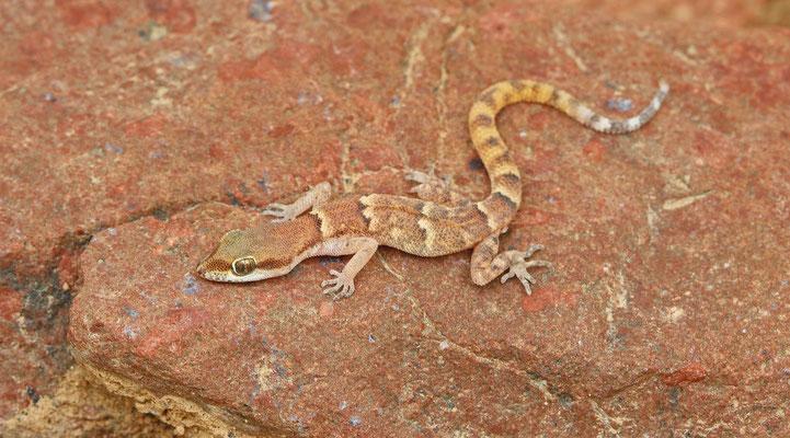 Natterers Pygmy Gecko (Tropiocolotes nattereri)