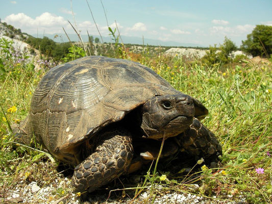 Marginated Tortoise (Testudo marginata), Dion, Greece, April 2010