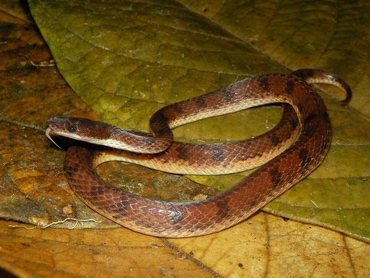 flat-headed snake (Xenopholis scalaris)