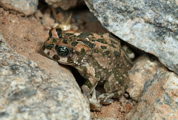 Paradise Toad (Vandijkophrynus robinsoni)