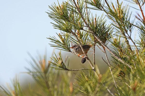 Balearic Warbler (Curruca balearica)