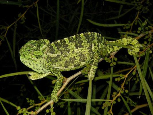 Mediterranean Chameleon (Chamaeleo chamaeleon), Antalya, Turkey, February 2014