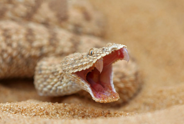 Sahara Sand Viper (Cerastes vipera) defensive display.