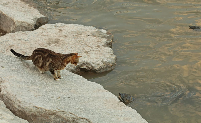 Standoff between feral cat and African Softshell Turtle (Trionyx triunguis).