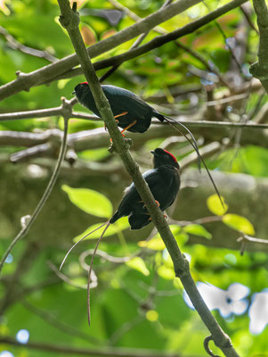 Long-tailed Manakin (Chiroxiphia linearis) © Jasper Boldingh