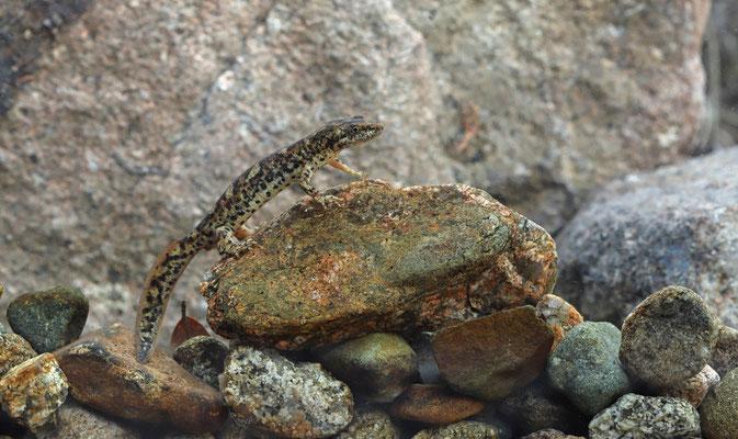 Sardinian Brook Newt (Euproctus platycephalus)