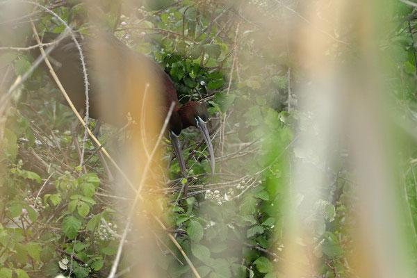 Glossy Ibis (Plegadis falcinellus) working on their nest.