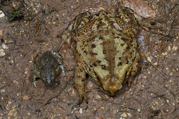 Green Toad (Bufotes viridis) in size comparison to giant Common Toad (Bufo bufo). © Wouter Beukema