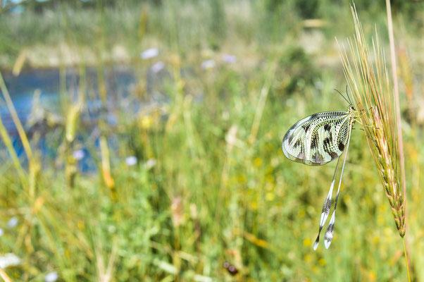 Larger Balkan Spoon-winged Lacewing (Nemoptera sinuata) © Madeleine Wouda