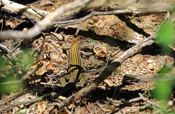 Blackbelly Racerunner (Aspidoscelis deppii)