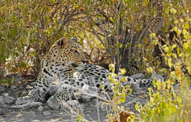 Leopard (Panthera pardus) resting in the shade.