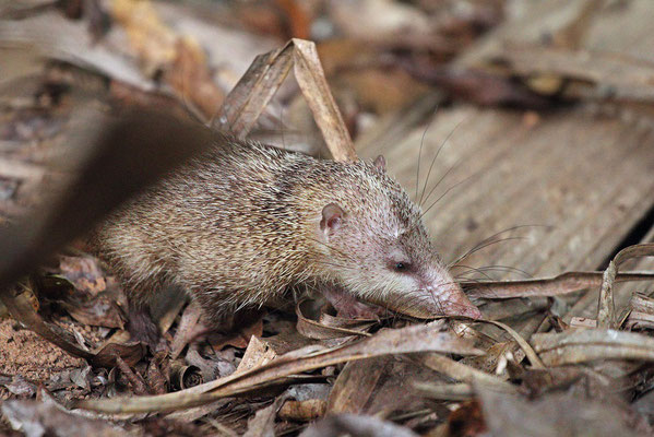 The Tenrecs (Tenrec ecaudatus) in Vallée de Mai NP were remarkably less shy than those on other sites we have visited.