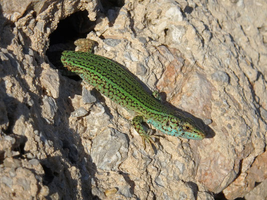 Ibiza Wall Lizard (Podarcis pityusensis)