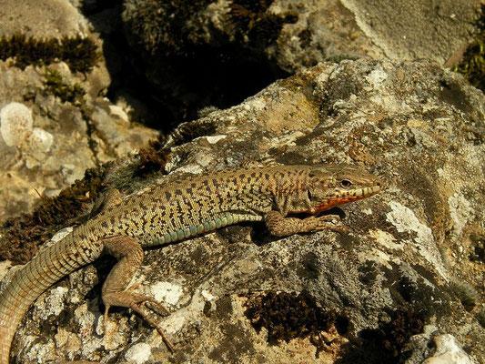 Erhard's Wall Lizard (Podarcis erhardii livadiacus), Peloponnese, Greece, October 2012
