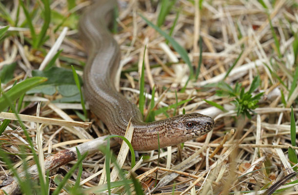 Slow Worm (Anguis fragilis) male