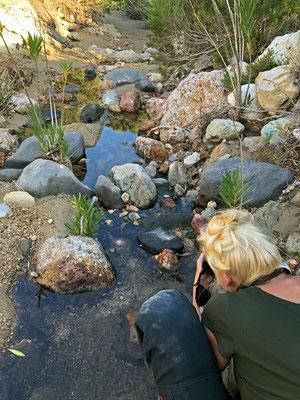Laura photographing the Milos Viper (Macrovipera lebetina schweizeri).