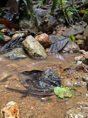 Water Tegu (Centrosaura apodema)