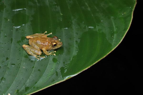 Clay-coloured Rain Frog (Pristimantis cerasinus)