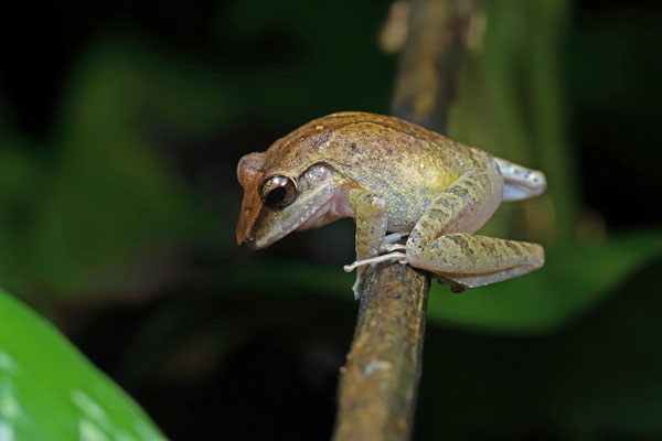 Common Rain Frog (Craugastor fitzingeri)