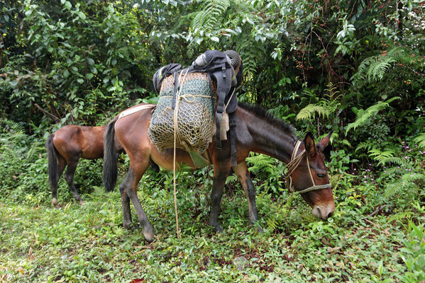 Mule with our luggage.