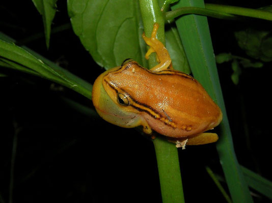 Spotted Reed Frog (Hyperolius substriatus)