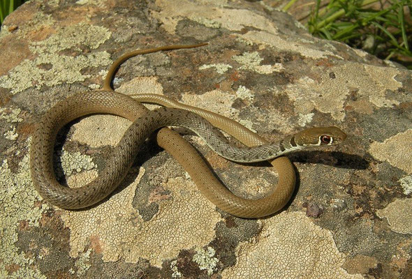 Dahl's Whip Snake (Platyceps najadum), Ani, Turkey, May 2015