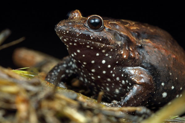 Hula Painted Frog (Latonia nigriventer) displaying the belly which gives the species its scientific name.