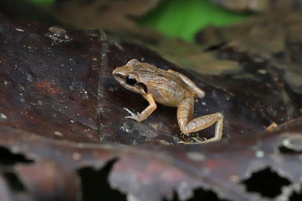 Coastal Plain Litter Frog (Craugastor polyptychus)