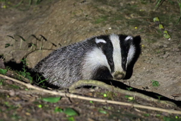 Curious Badger (Meles meles)