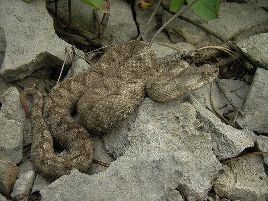Nose-horned Viper (Vipera ammodytes), Italian-Slovenian border, August 2014