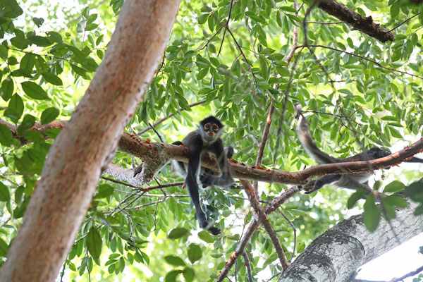 Central American Spider Monkey (Ateles geoffroyi yucatanensis)