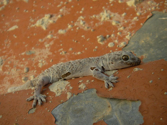 Turkish Gecko (Hemidactylus turcicus) in his PJs.