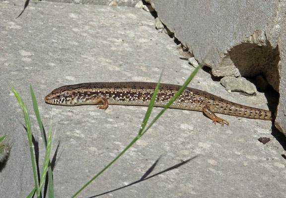 Ocellated Skink (Chalcides ocellatus) basking