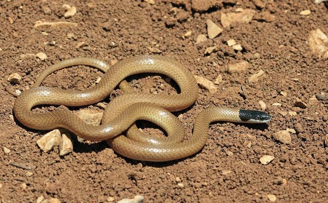 Palestine Kukri Snake (Rhynchocalamus melanocephalus)
