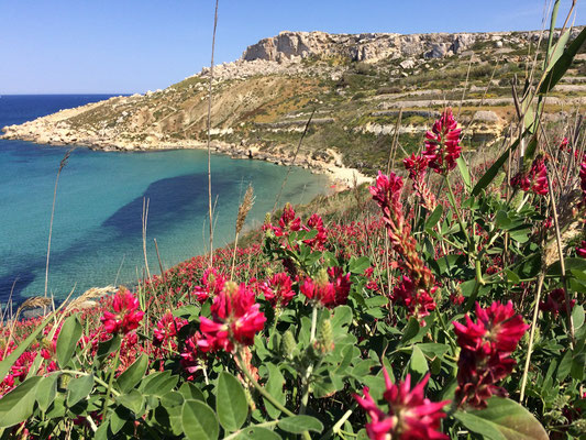 Stunning coastline in the north of Malta with massive stands of Crimson Clover (Trifolium incarnatum).
