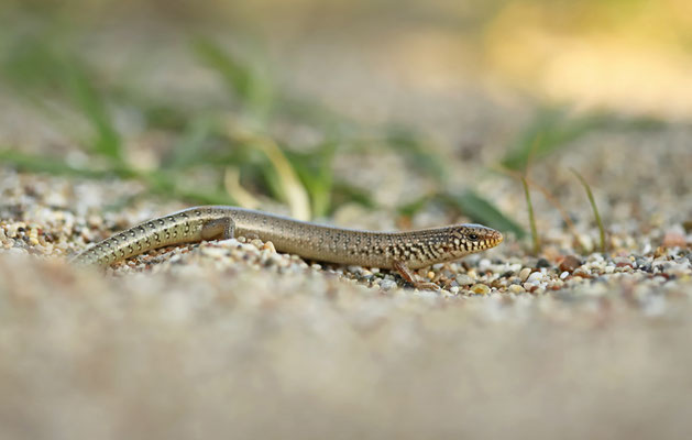 Juvenile Ocellated Skink (Chalcides ocellatus)