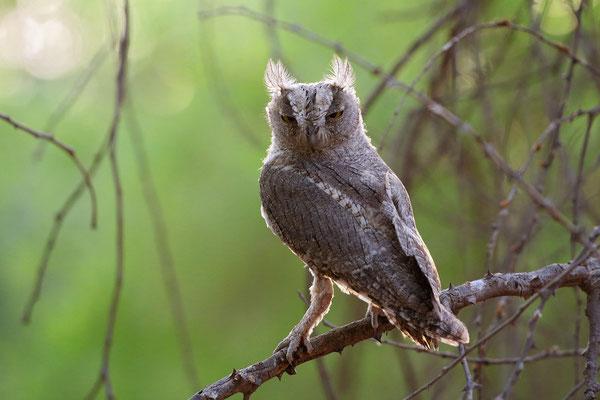 Pallid Scops Owl (Otus brucei)