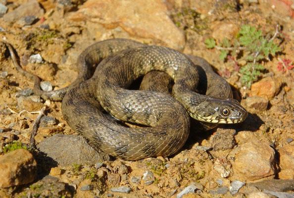 Viperine Snake (Natrix maura)