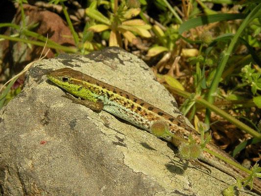 Snake-eyed Lizard (Ophisops elegans macrodactylus), Limnos, Greece, May 2010